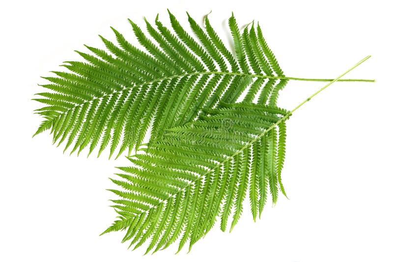 Ferns royaltyfri fotografi