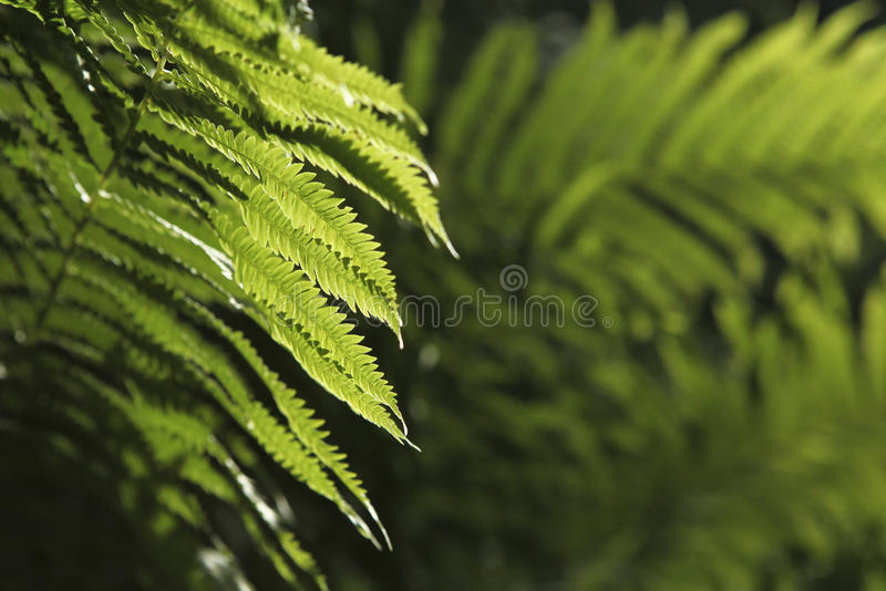 Ferns. Close-up of a sharp fern in front of blurry ferns and illuminated sideways by the sun royalty free stock photography