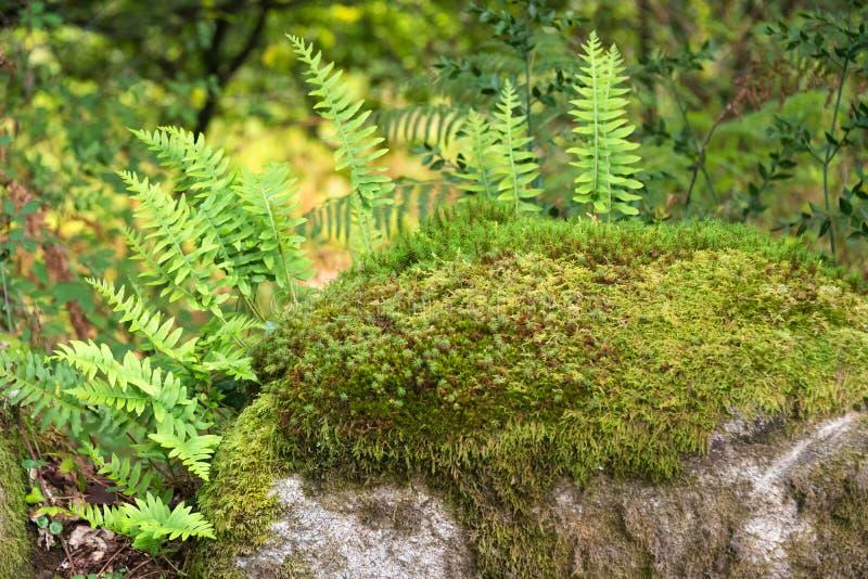 Ferns crescendo sobre as rochas da floresta imagem de stock royalty free
