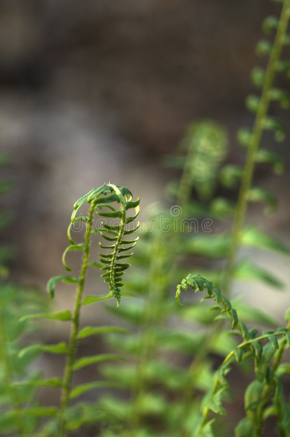 Ferns, Early Spring, East TN royalty free stock photography