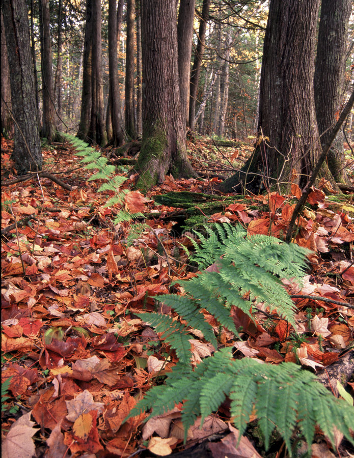 Ferns in Forest stock photo