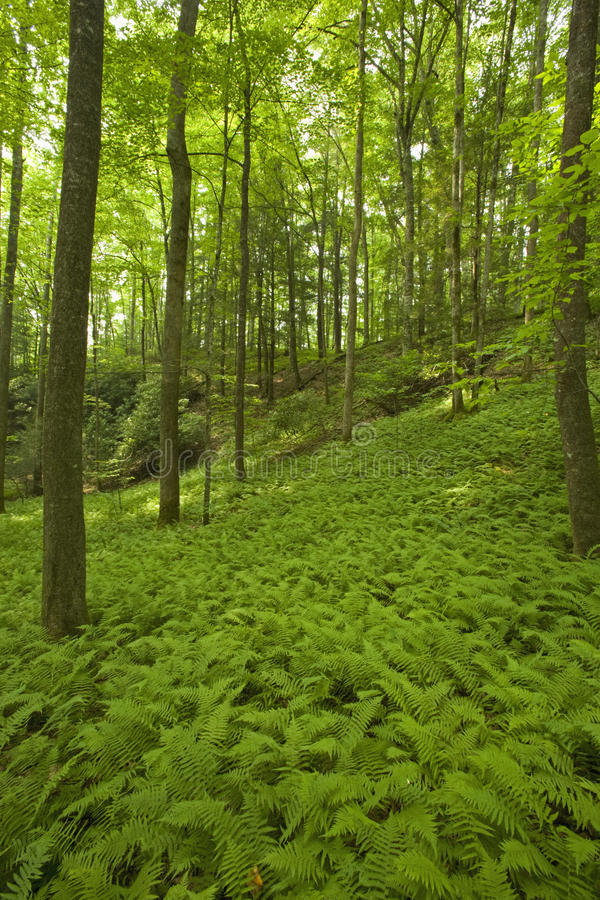 Ferns & Forest, Pink Beds Area, Pisgah NF royalty free stock photo