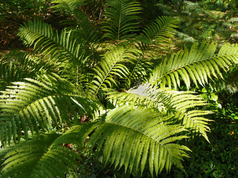 Ferns in the forest stock image