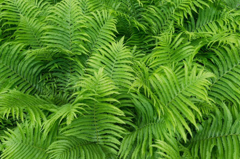 Ferns in the Garden. royalty free stock images