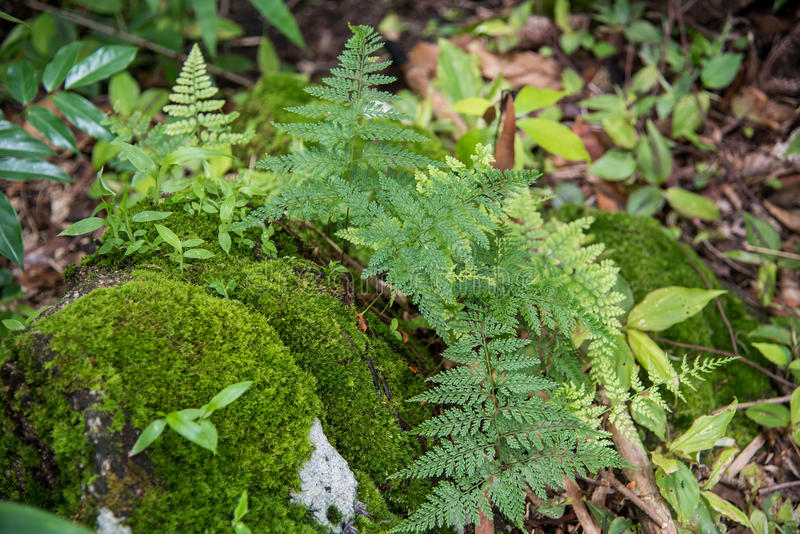 Ferns growing on a rock Tak ,Thailand.  royalty free stock photography