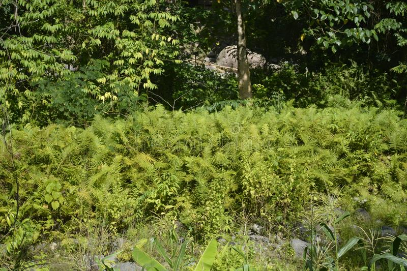Ferns grown along Napan river located at Sitio Napan, Barangay Goma, Digos City, Davao del Sur, Philippines. This photo shows the ferns grown along Napan river stock photos