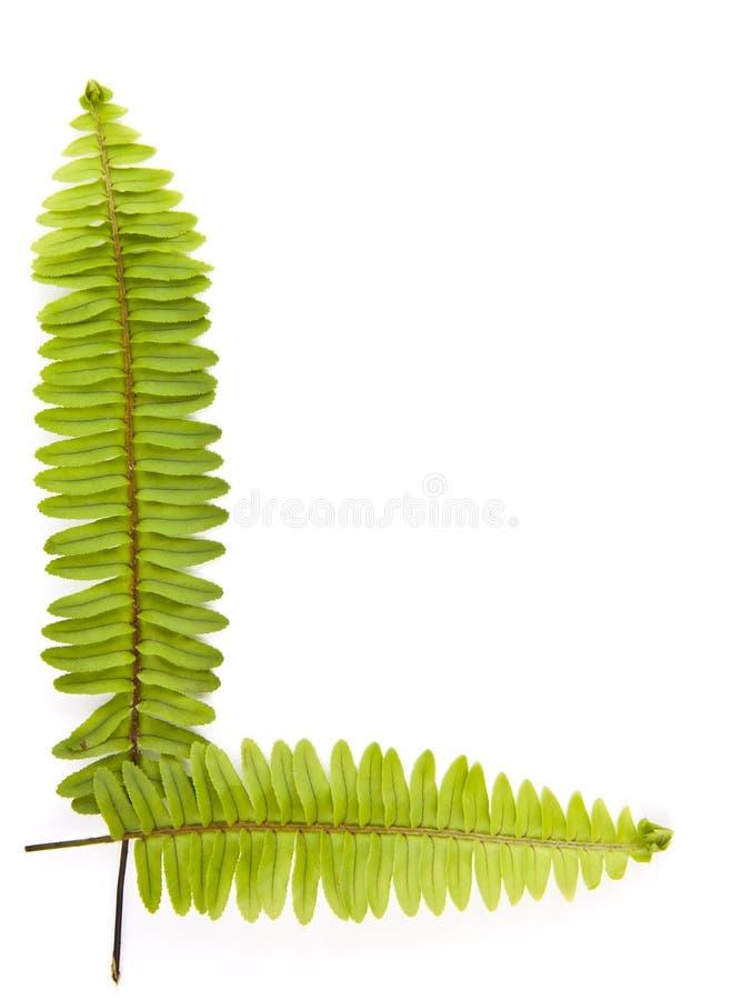 Ferns isolated on white