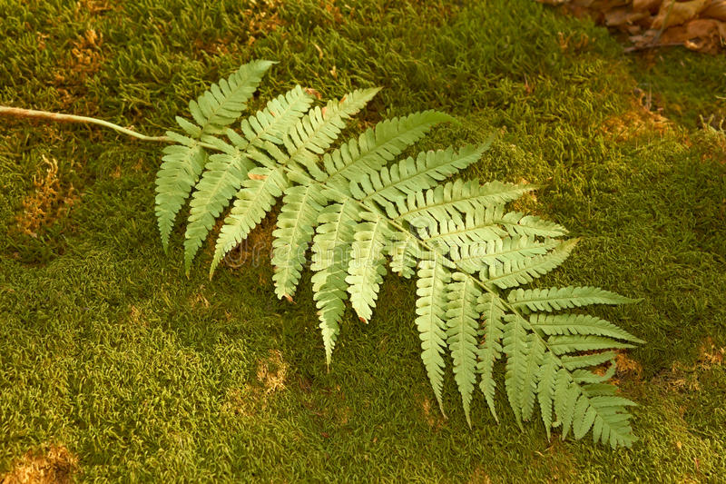 Download Ferns leaf on the moss stock image. Image of grass, dark - 21923537