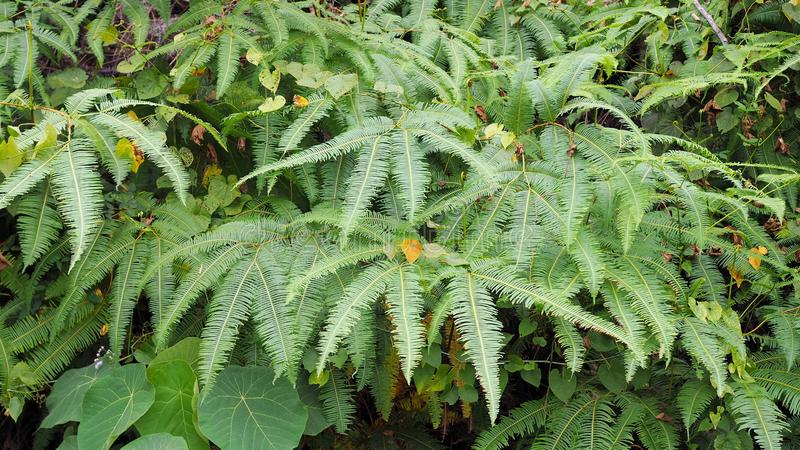 Ferns leaves green as a background, ground cover plants. Beautiful green ferns leaves in a forest Pteridophyta, Filicophyta, Polypodiophyta royalty free stock images