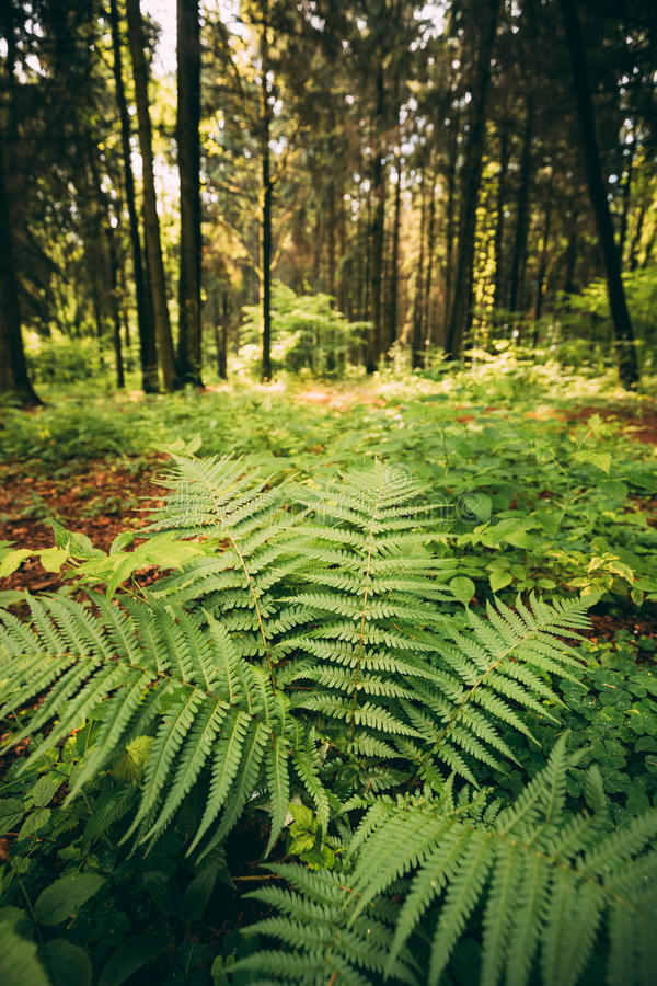 Ferns Leaves Green Foliage In Summer Coniferous Forest. Green Fern Bushes In Park Between Woods, royalty free stock photos