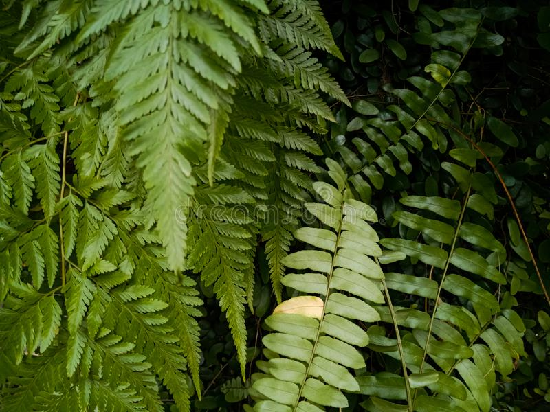 Green ferns and elongated leaves in the forest. Ferns leaves  st green  nature background beauty symmetry elongated textures        s stock image