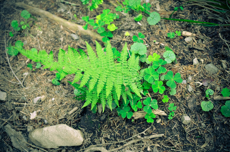 Ferns and moss green . Grows on rocky ground. stock image