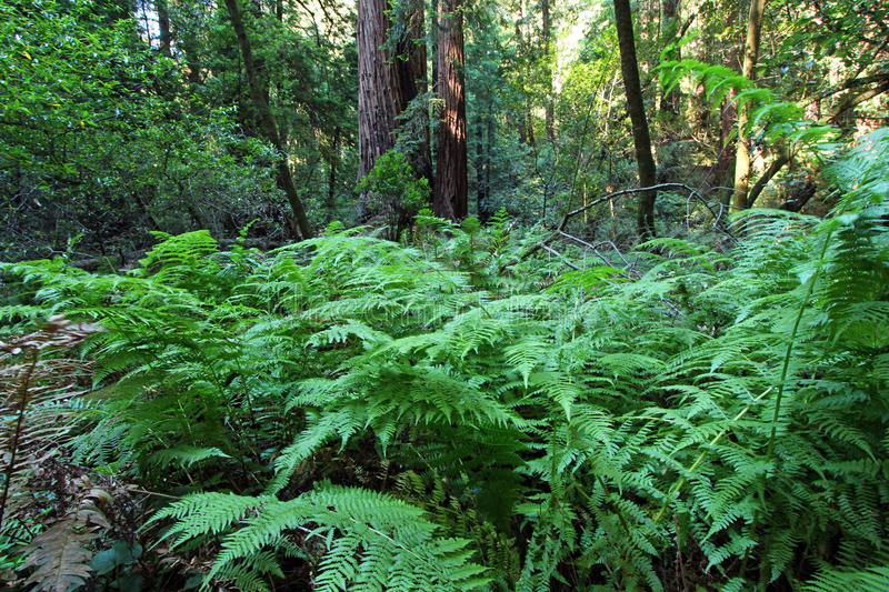 Ferns in Muir woods royalty free stock image