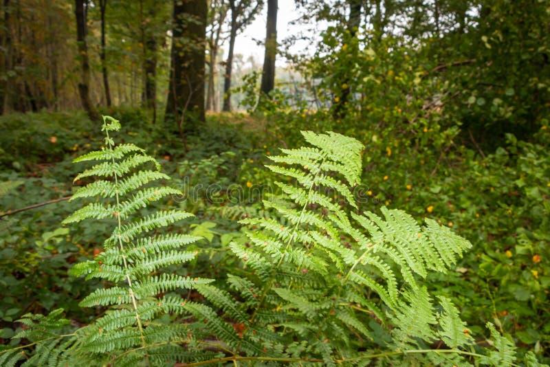 Ferns na floresta, uma bela planta com uma cor verde brilhante fotografia de stock