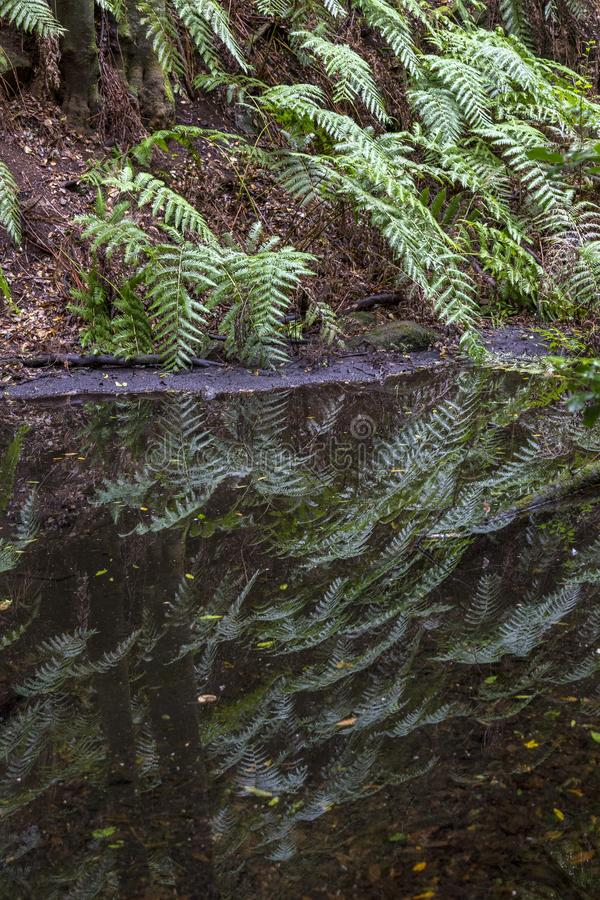 Ferns near a pond in forest at Garajonay park. La Gomera, Canary Islands. Spain stock photos