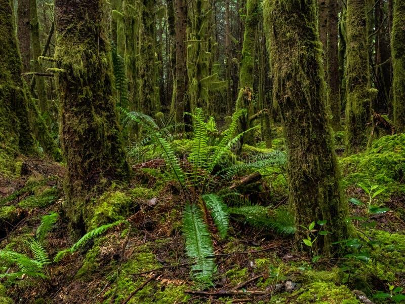 Ferns nella foresta pluviale fotografia stock