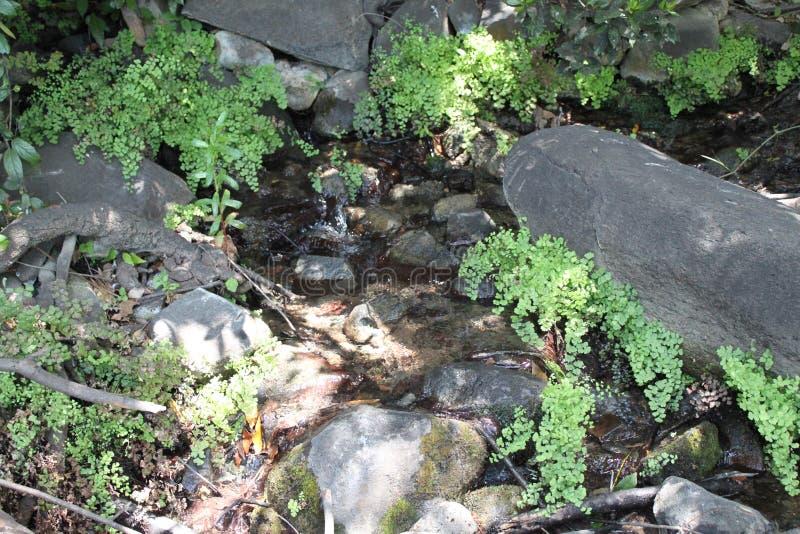 Ferns Between Rocks, Riserva Naturale Del Fiume Di Tel Dan, Nord Israele fotografia stock