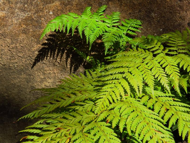 Ferns and shadows. Late afternoon light falls on this spring green fern, casting sharp shadows on the sandstone rockface behind stock images