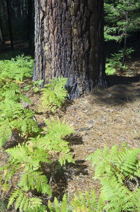 Ferns royalty free stock photo