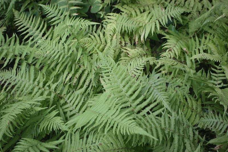 Ferns in the woods royalty free stock images