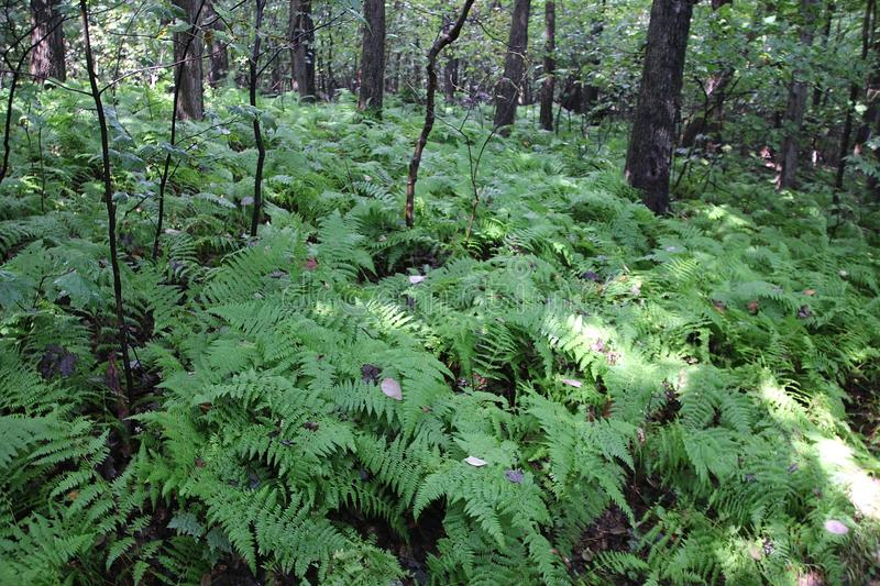 Ferns in woods stock photography