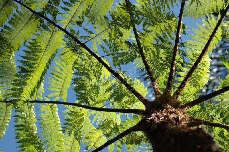 Download Ferntree arkivfoto. Bild av lövverk, tropiskt, stem, tree - 278172