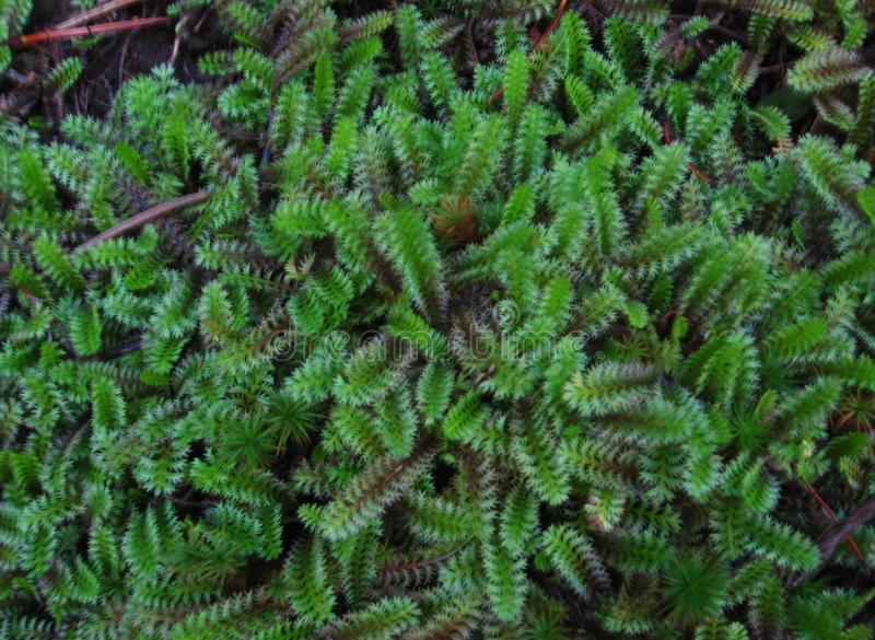 Ferny Groundcover In Garden. Photo of fern-like groundcover in a garden, saturation and contrast has been increased royalty free stock images