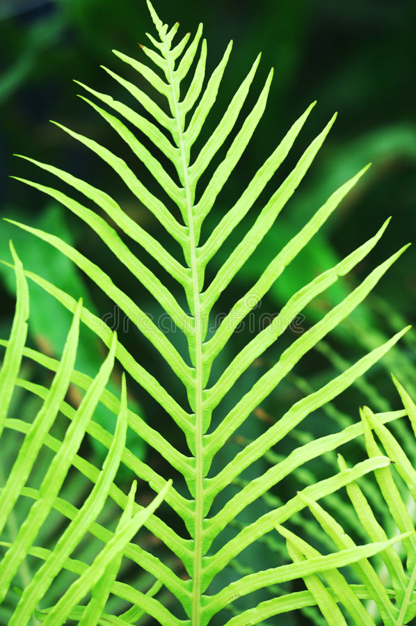 Ferny leaves. Natural ferny leaves with different green color tones royalty free stock photography