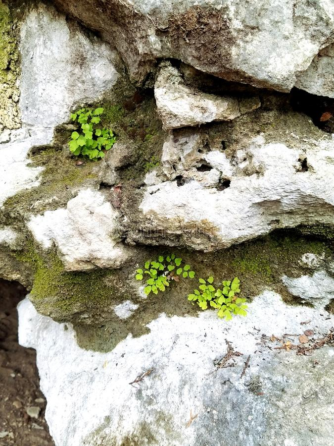 Ferny rocky ledge. Bright baby fern on rock ledge stock photography