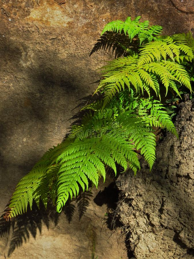 Ferny shadows. Late afternoon light falls on this fern growing in a crack in a sandstone rockface, creating defined shadows of the fronds and softer shadows of royalty free stock images