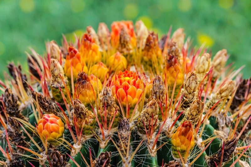 Ferocactus di fioritura fotografia stock