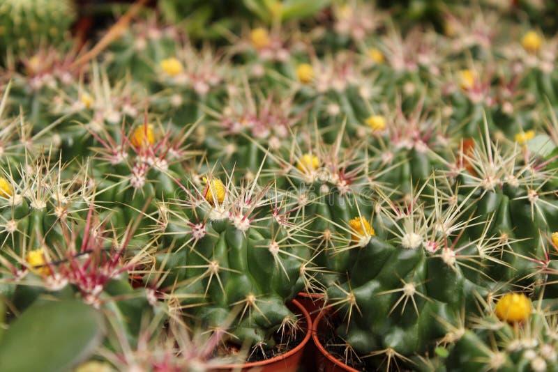 Ferocactus Gracilis w ogródzie zdjęcie stock