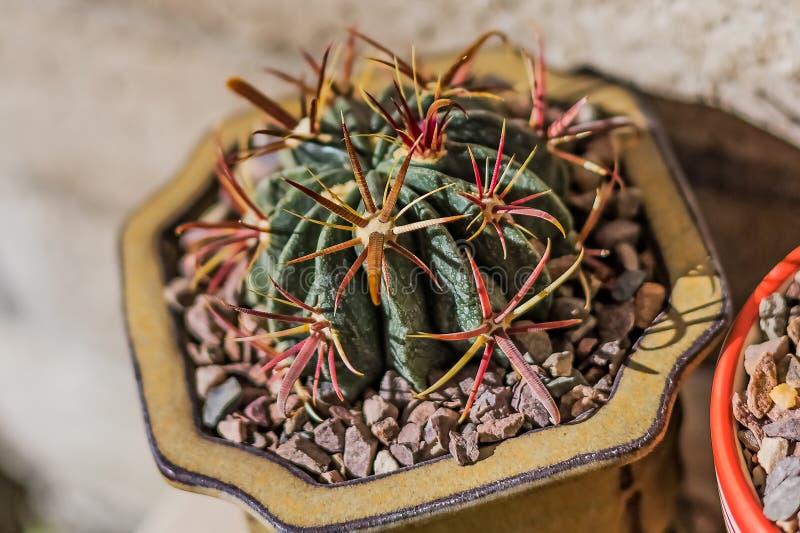 Ferocactus latispinus latispinus kaktus obrazy royalty free