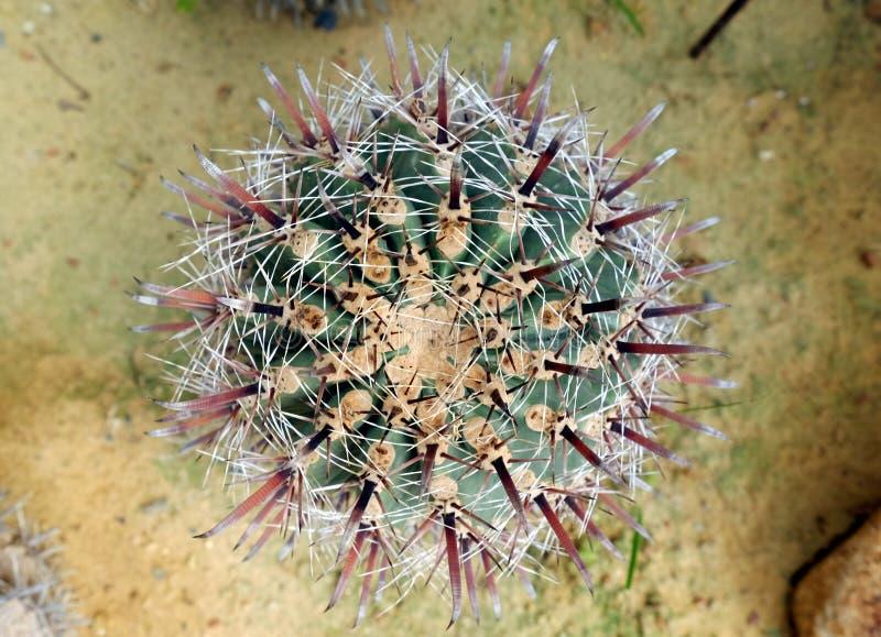 Ferocactus peninsulae zdjęcie stock
