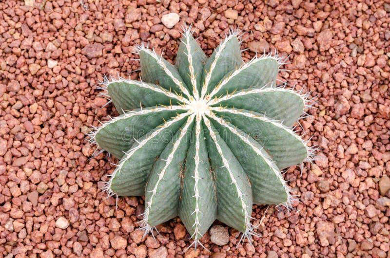 Ferocactus schwarzii Lindsay, kaktus obrazy stock