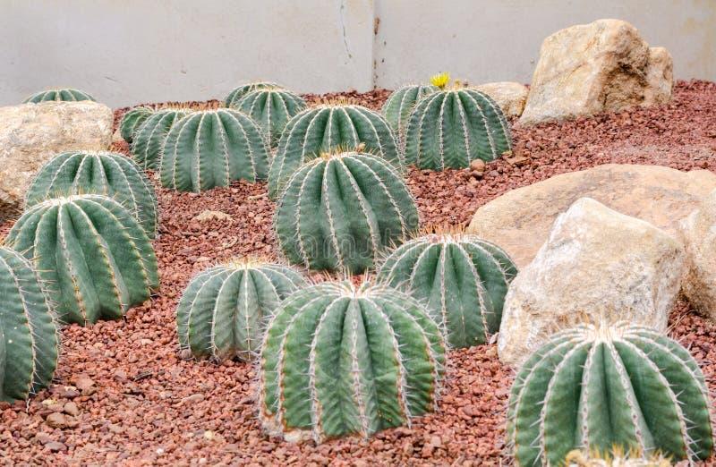 Ferocactus schwarzii Lindsay, kaktus grupa fotografia stock