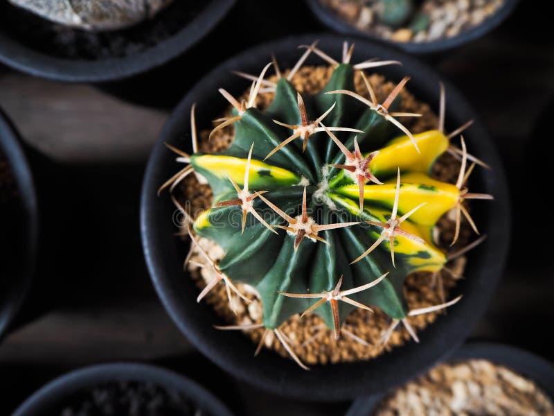 Ferocactus variegata stock image