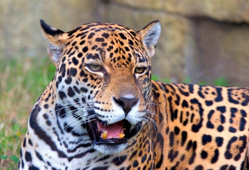 Ferocious Jaguar royalty free stock photo