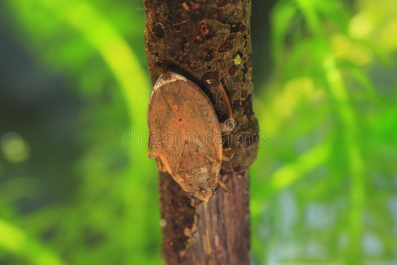 Ferocious water bug. (Appasus japonicus) in Japan stock photography
