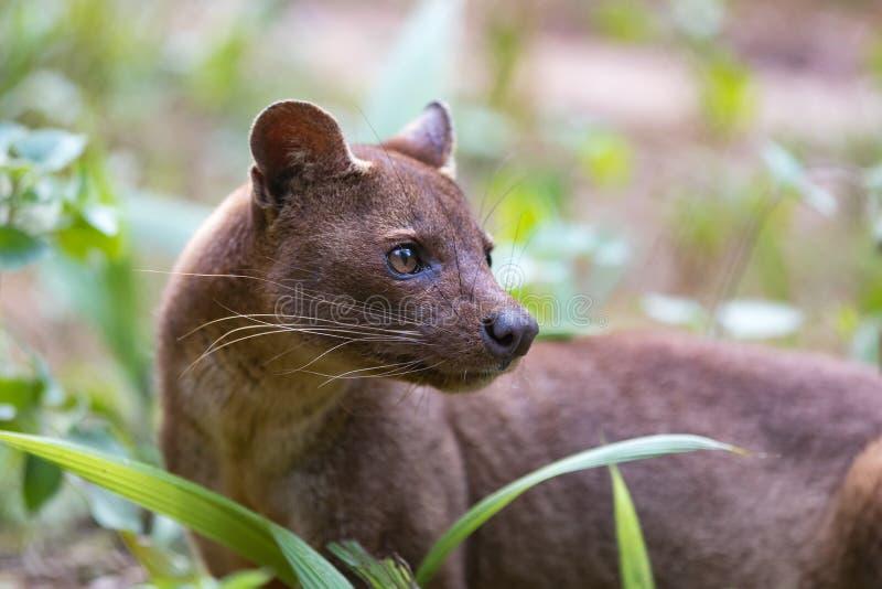 Ferox mammifère carnivore de Cryptoprocta de Fossa photographie stock libre de droits