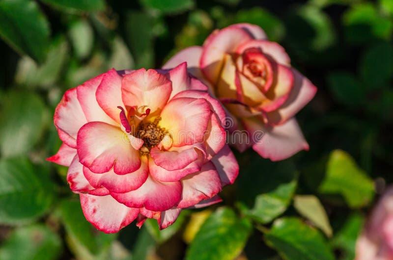 Ferre de Lion de catégorie de fleur de Rose, deux usines fleurissantes blanc rose photo libre de droits