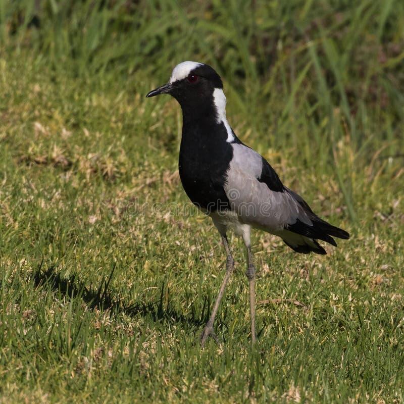 Ferreiro Lapwing em um gramado em África do Sul imagem de stock