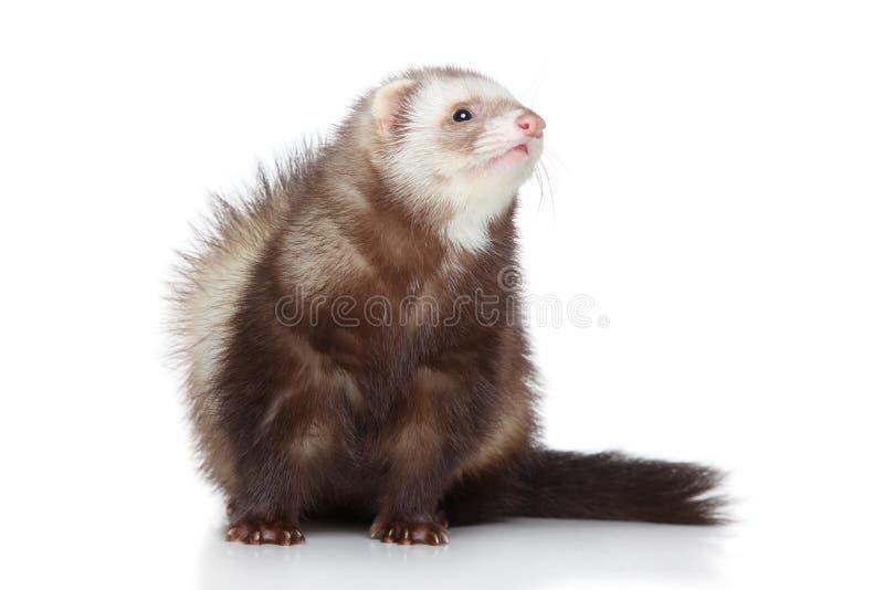 ferret предпосылки представляя белизну стоковые изображения rf