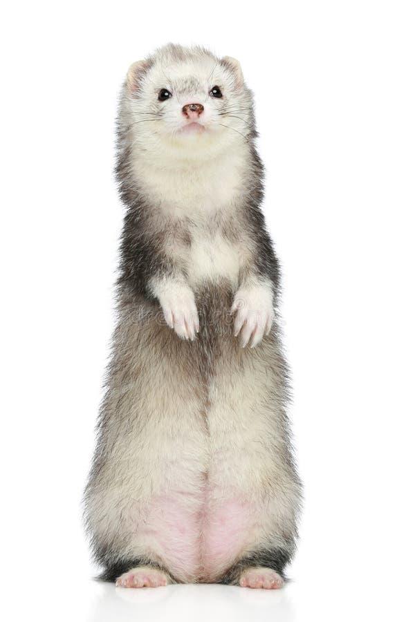 ferret предпосылки стоя бела стоковое фото rf