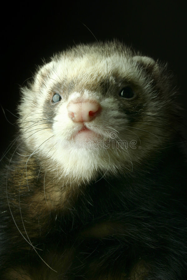 Ferret royalty free stock images