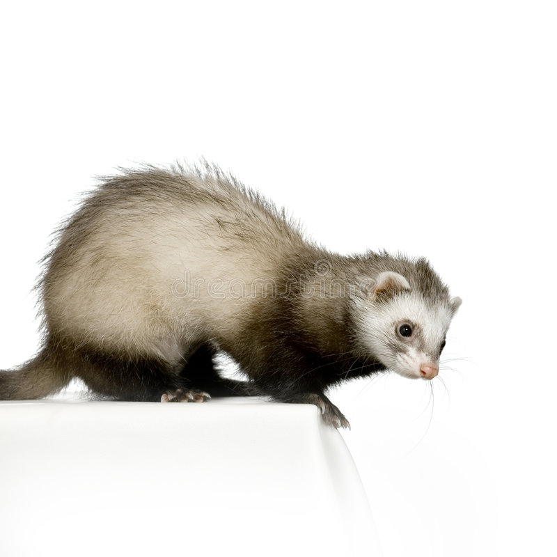 Download Ferret stock photo. Image of family, cheerful, pets, life - 2303690