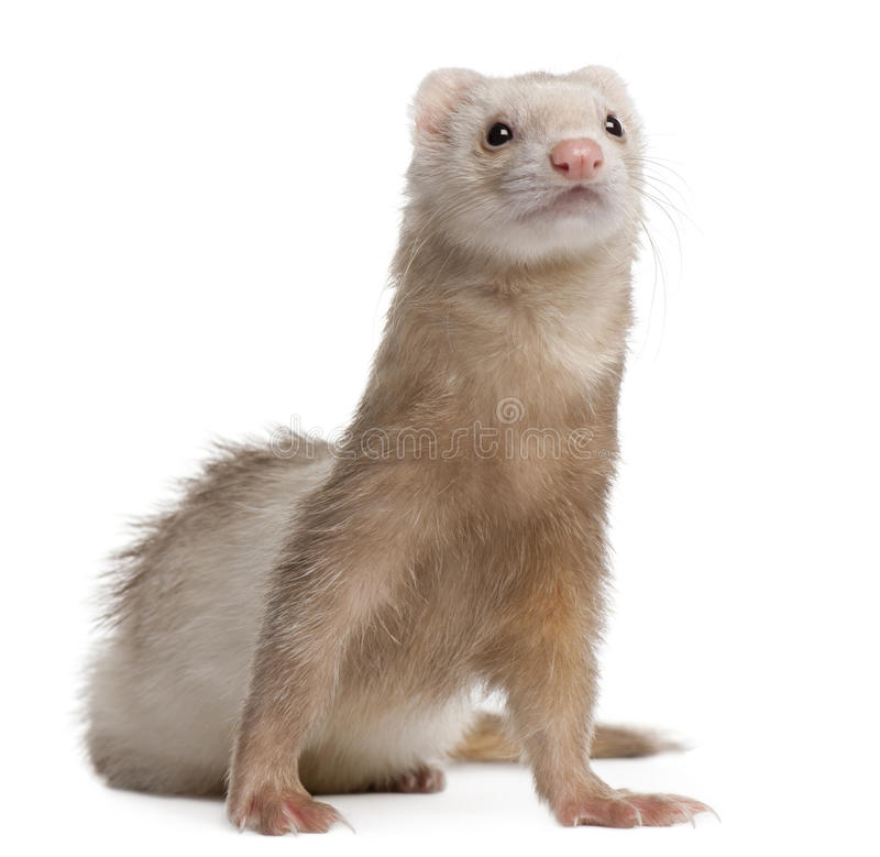 Ferret, 4 years old, in front of white background royalty free stock image