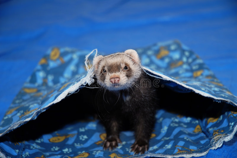 Download Ferret stock image. Image of friendly, peek, paws, cute - 627799