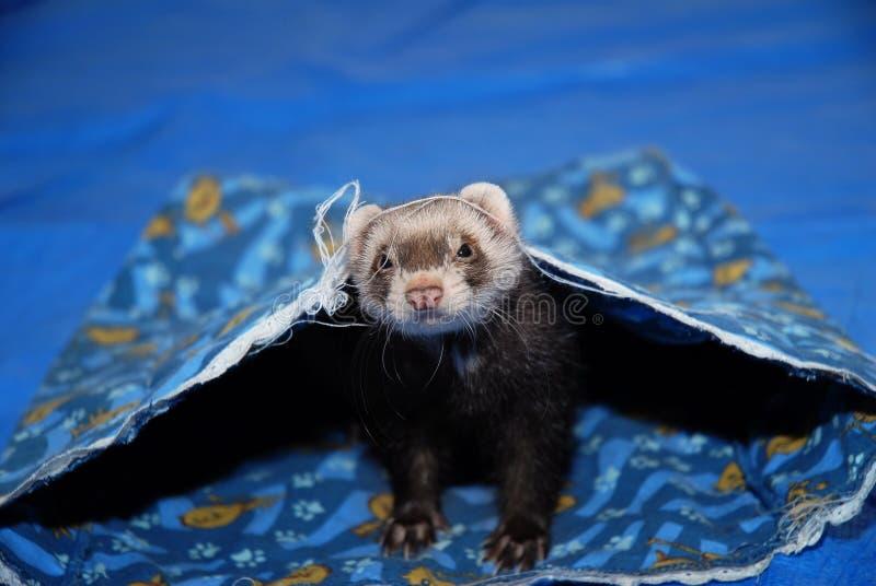 ferret стоковые изображения rf
