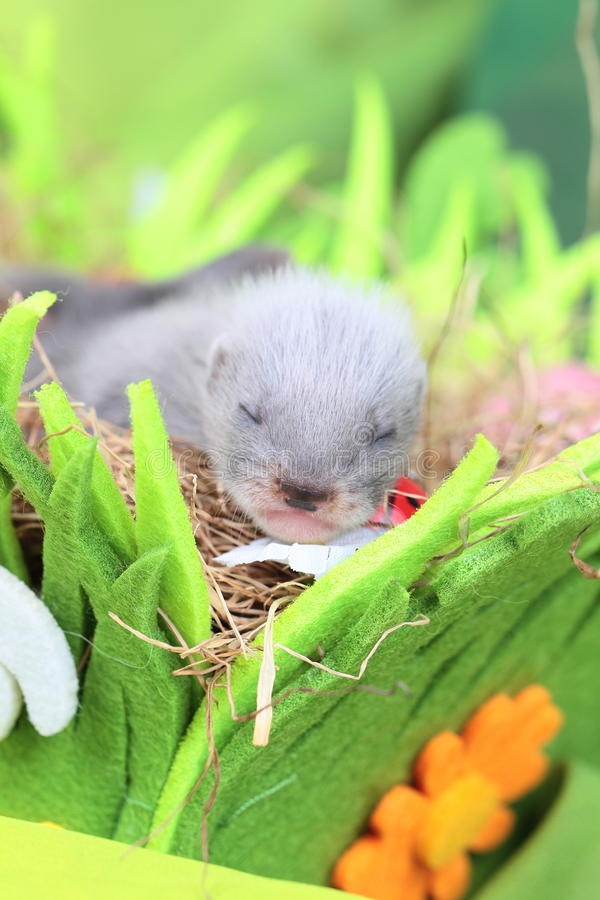Download Ferret Baby In The Nest Of Hay Stock Image - Image: 43215237